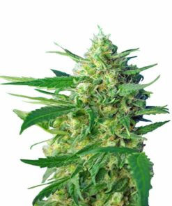 Semilla de Marihuana Ice Cool - Sweet Seeds Auto