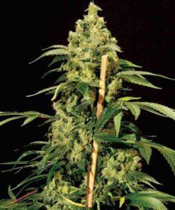 Semilla de Marihuana Jack Herer - Bulldog Seeds
