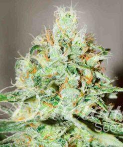 Semilla de Marihuana Jagg Kush - Delicious Seeds