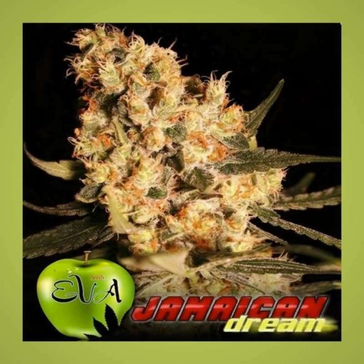 Semilla de Marihuana Jamaican Dream - EVA Seeds