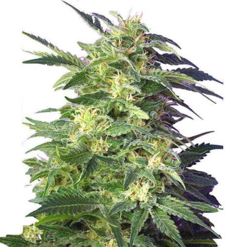 Semilla de Marihuana Killer Kush Auto - Sweet Seeds