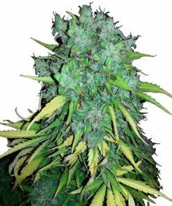 Semilla de Marihuana Maxi Goom Tupolev Auto - Sputnik Seeds