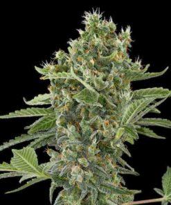 Semilla de Marihuana Moby Dick - Dinafem Seeds Auto