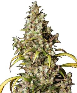 Semilla de Marihuana Monster - EVA Seeds