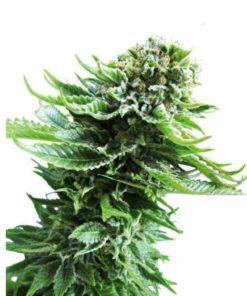 Semilla de Marihuana Northern Light Sky Auto - Sputnik Seeds