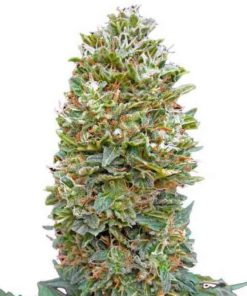 Semilla de Marihuana Northern Lights - 00 Seeds