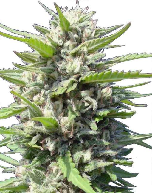 Semilla de Marihuana Northern Lights - Genehtik Seeds Auto