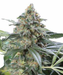 Semilla de Marihuana OG Kush CBD - Dinafem Seeds
