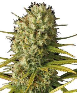 Semilla de Marihuana Original Amnesia - Dinafem Seeds