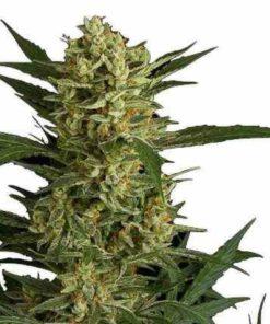 Semilla de Marihuana Original Amnesia - Dinafem Seeds Auto