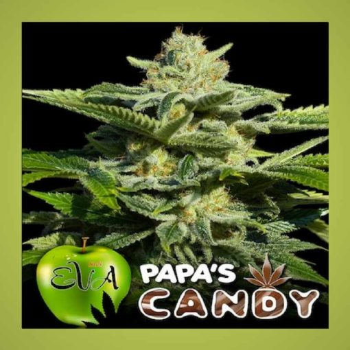 Semilla de Marihuana Papa's Candy - EVA Seeds
