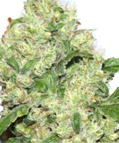 Semilla de Marihuana Power Plant Cosmos - Sputnik Seeds