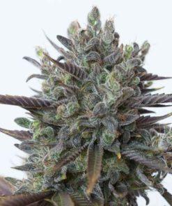 Semilla de Marihuana Purple Orange CBD - Dinafem Seeds