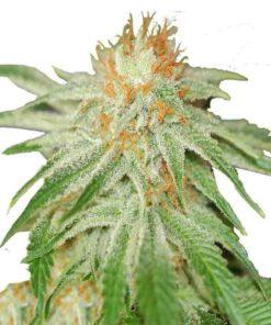 Semilla de Marihuana Shark Haze - Pure Seeds