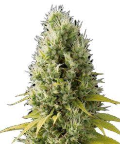 Semilla de Marihuana Shark Shock CBD - Dinafem Seeds
