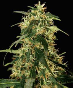 Semilla de Marihuana Silverstar Haze - Bulldog Seeds