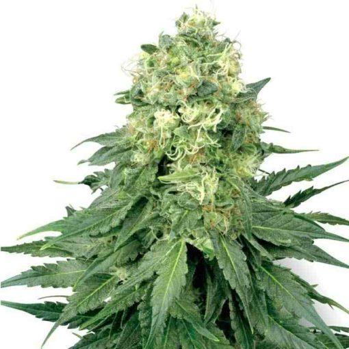 Semilla de Marihuana Star Widow Auto - Sputnik Seeds