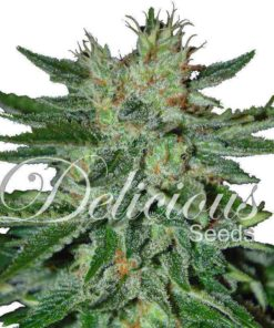 Semilla de Marihuana Sugar Black Rose - Delicious Seeds
