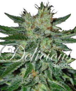 Semilla de Marihuana Sugar Black Rose Fast Version - Delicious Seeds