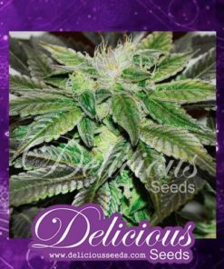 Semilla de Marihuana Sugar Candy - Delicious Seeds