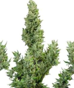 Semilla de Marihuana THC Auto - Pure Seeds
