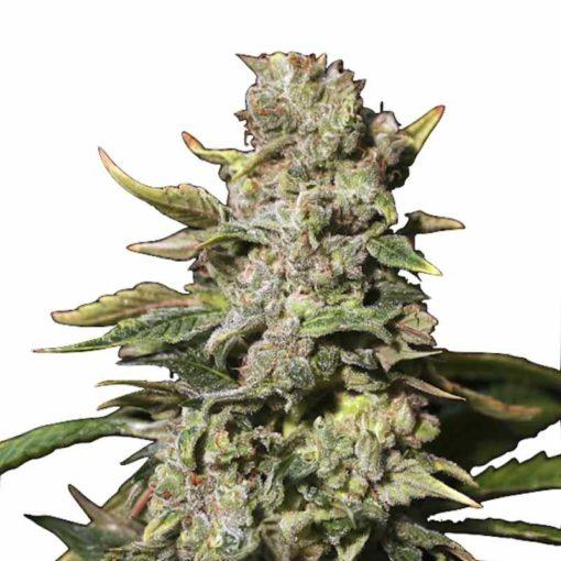 Semilla de Marihuana TNT Kush - Eva Seeds
