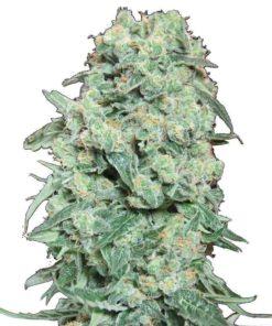 Semilla de Marihuana Viking Haze - Pure Seeds
