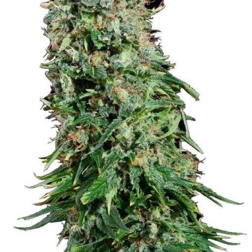 Semilla de Marihuana White Siberian - Dinafem Seeds