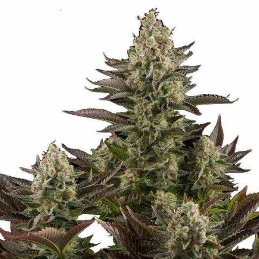 Semilla de Marihuana White Widow - Dinafem Seeds