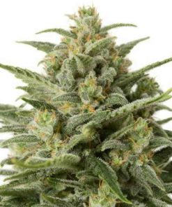 Semilla de Marihuana White Widow XXL - Dinafem Seeds